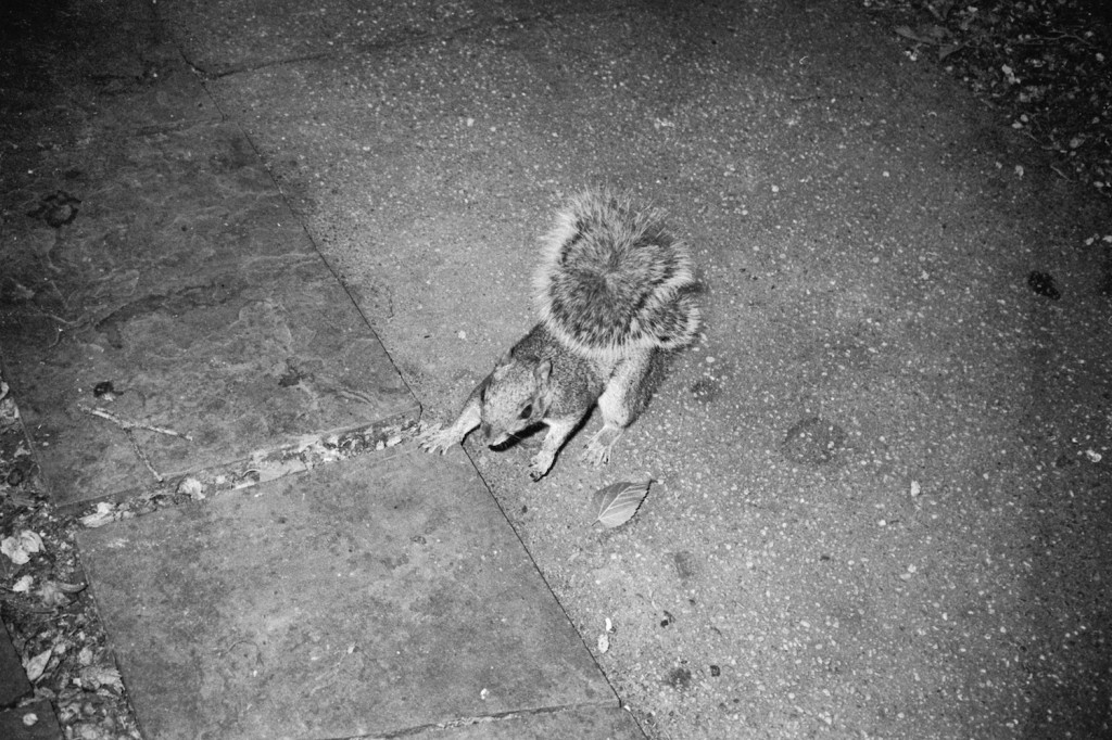 Squirrel caught in the flash. Washington, DC. Agfa APX 100 (pre-2014 emulsion).