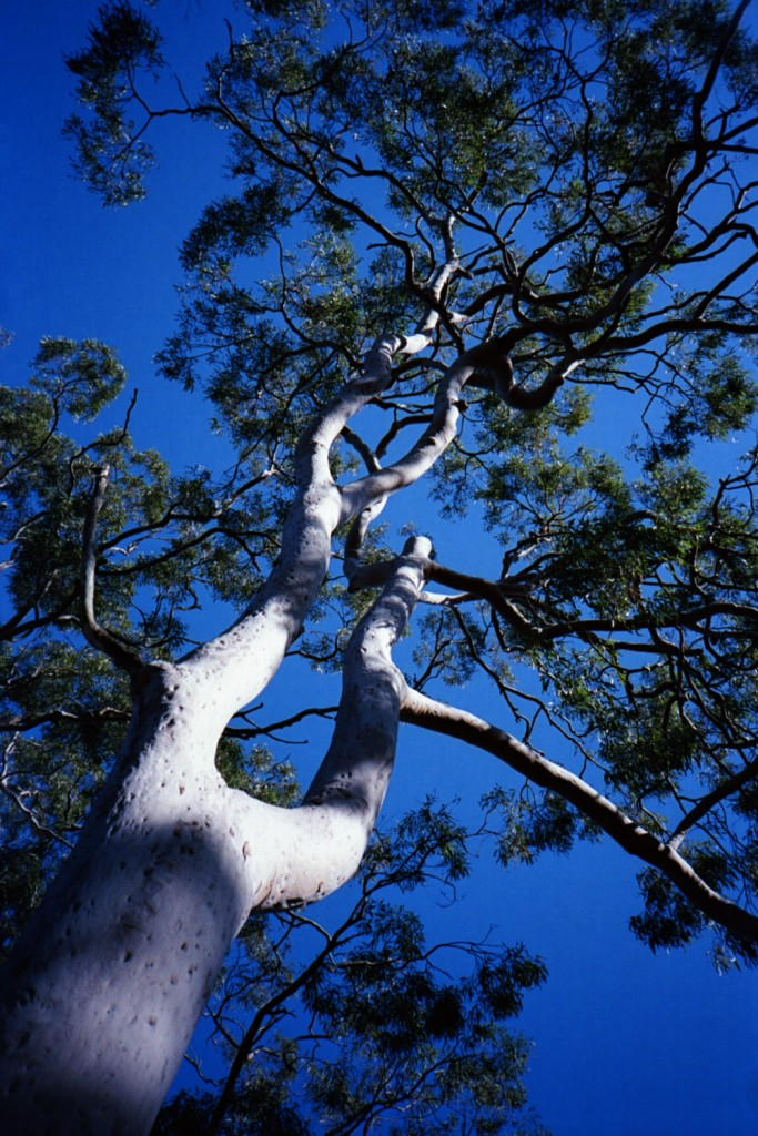 Up a gum tree II 1500px
