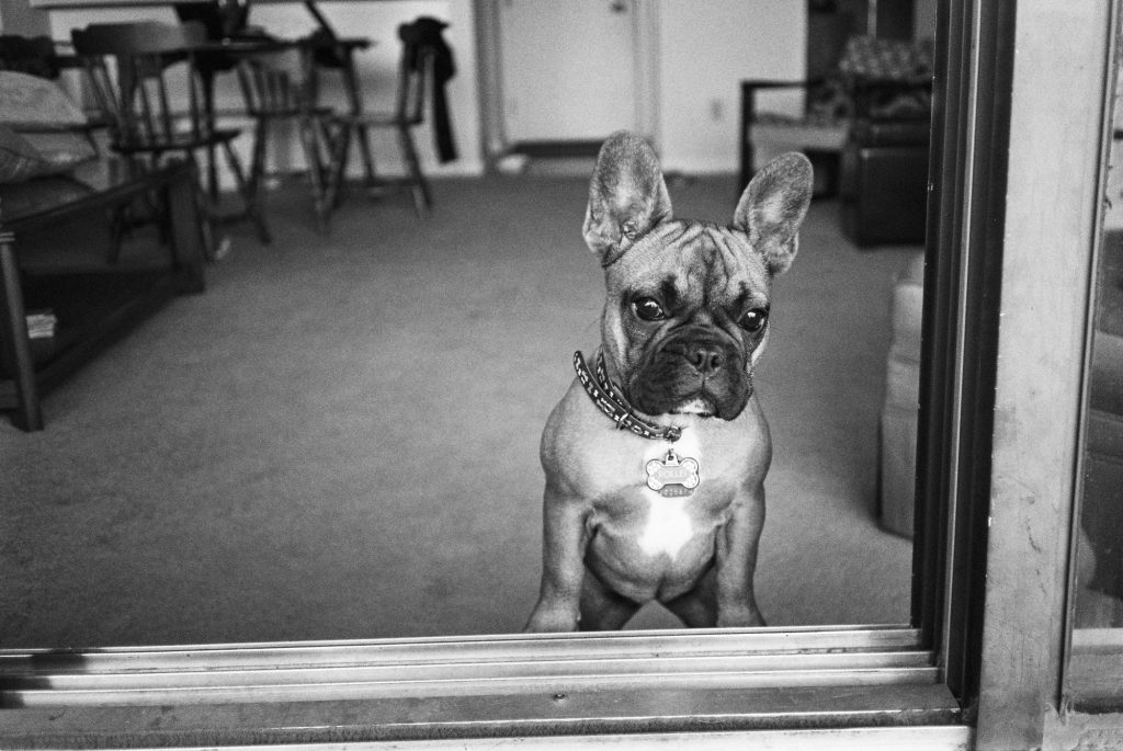 Rollei Looking Tough - TMax 400, Yes we named our French Bulldog Rollei and we have a Jack Russell named Leica.