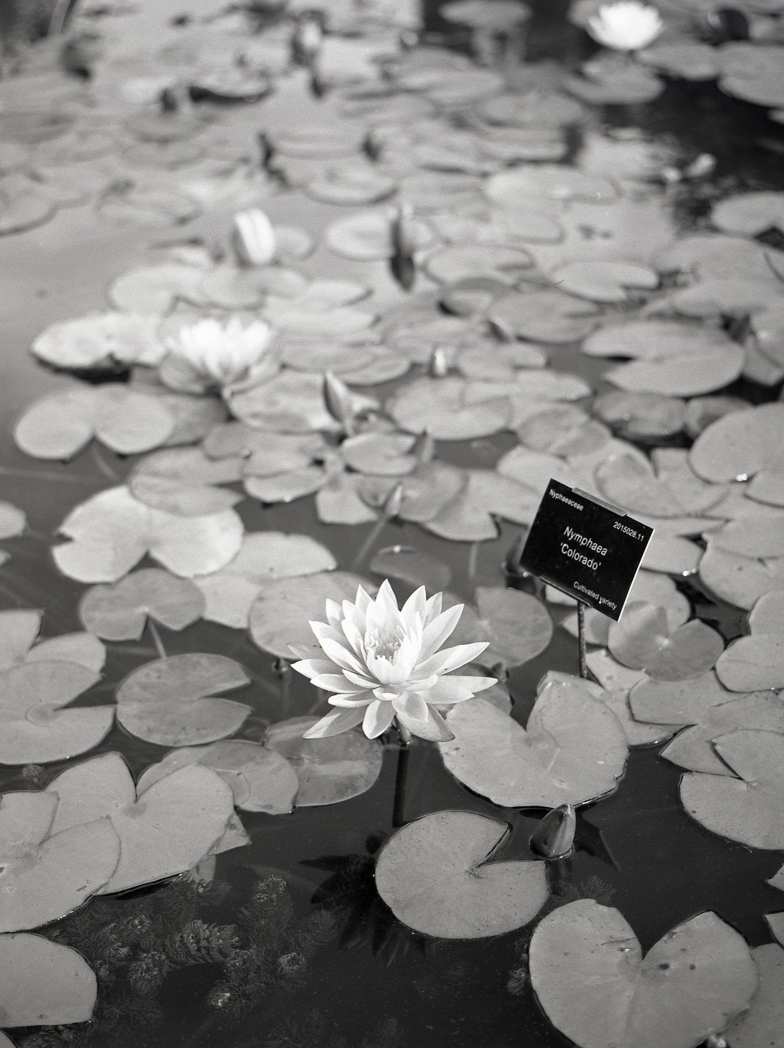 Flowers on Fujifilm Acros 100