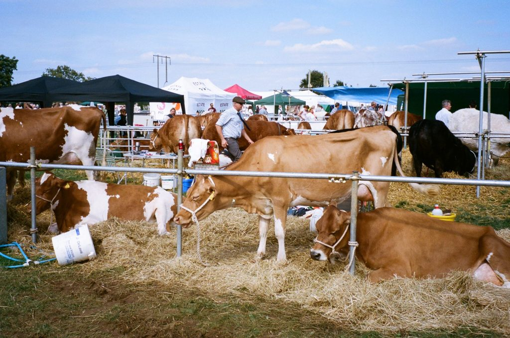 Photo of cows with Konica Z-up 150 VP