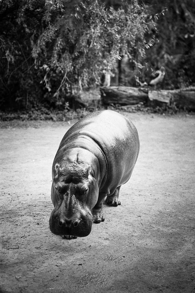 Hippopotamus photographed at the Hannover Zoo.
