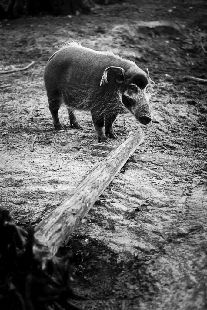 Red river hog at the Hannover Zoo.