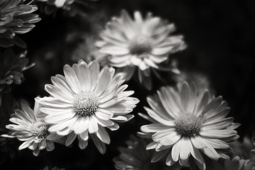 Black-and-white photograph of several blossoms taken with a Leica Summicron lens at the botanical garden.