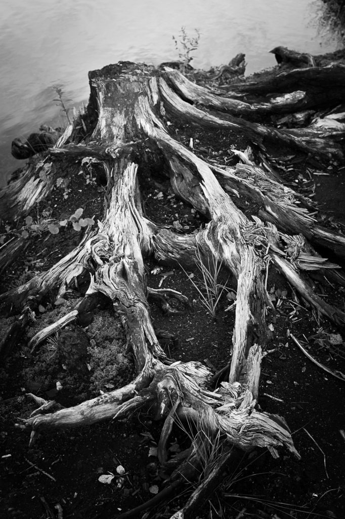 Roots of a dead tree.