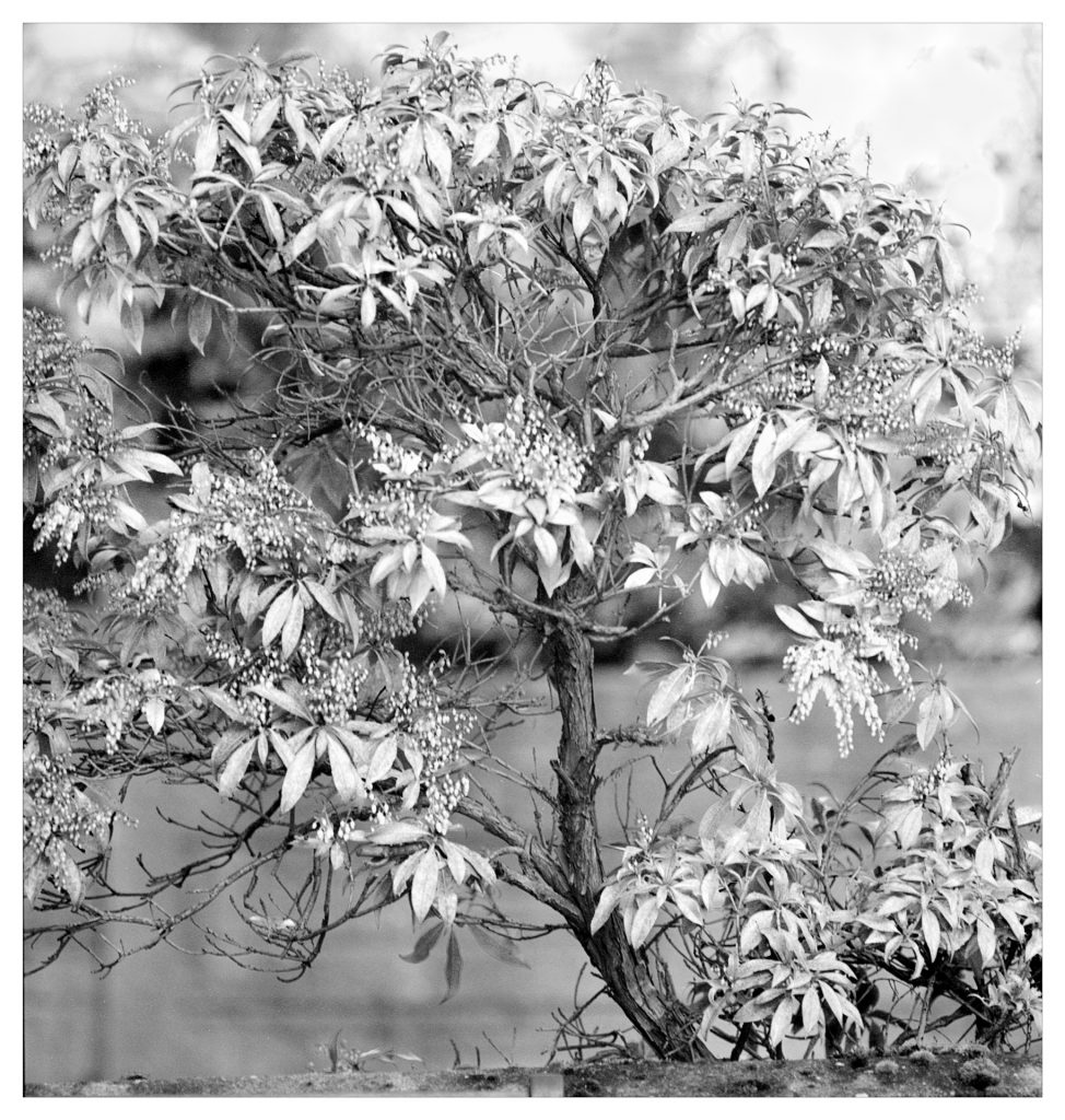 Black and white image of a flowering shrub.