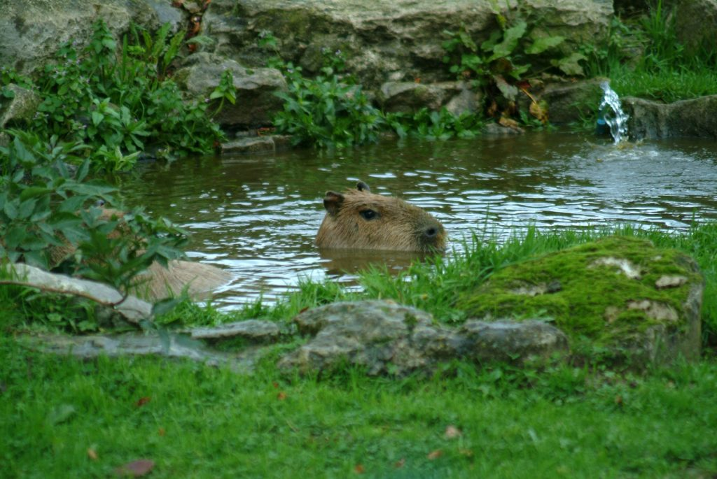 capybara in water shot on S2 pro