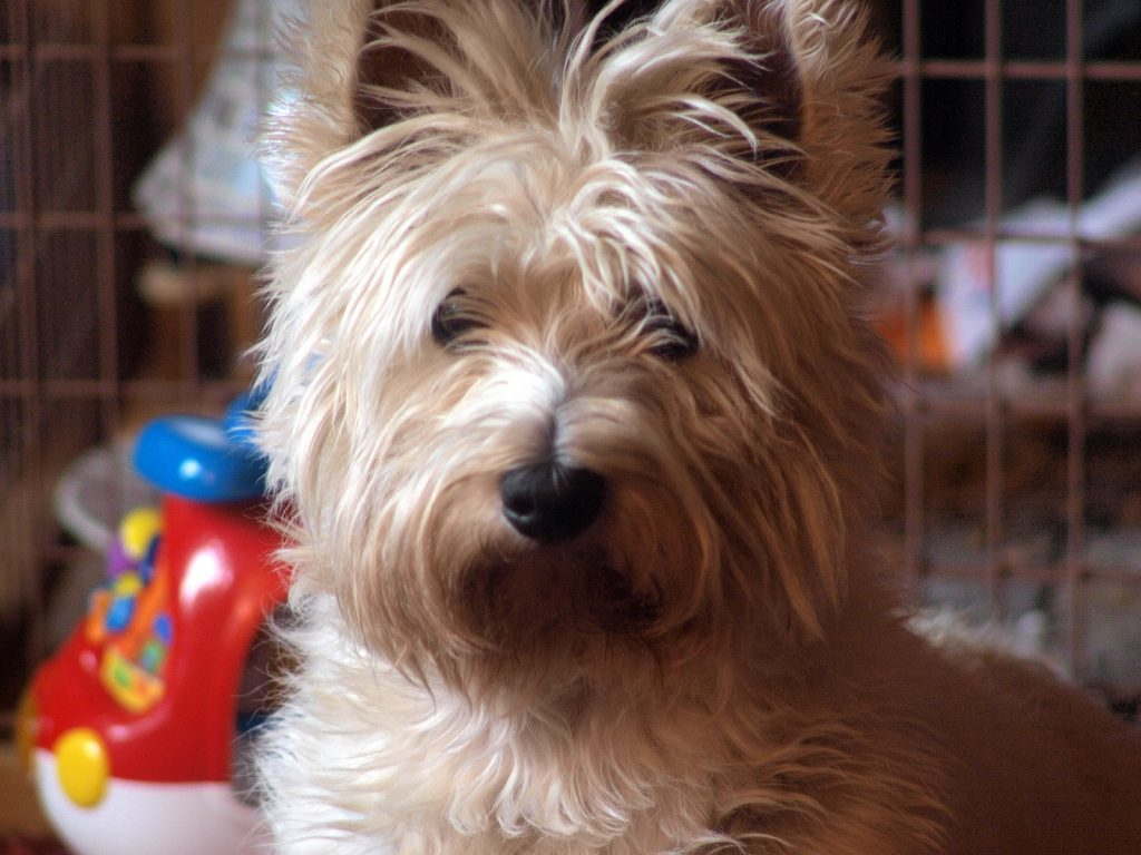 Highland Terrier pet dog