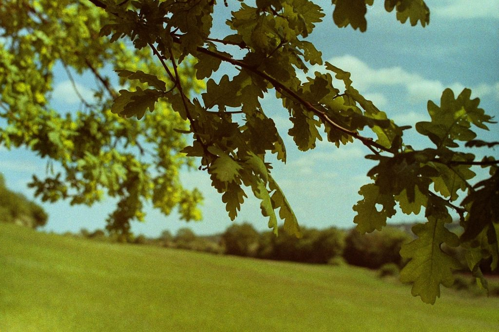 photograph of oak leaves with countryside background