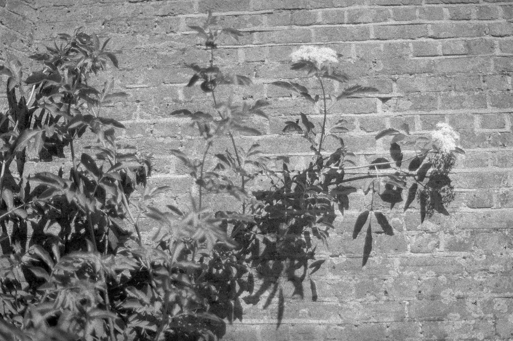 black and white photo of flower against a brick wall