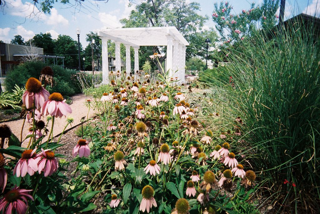 Flowers in the foreground and a pergola in the background at a local park, taken with a White Slim Angel 35mm point and shoot film camera.