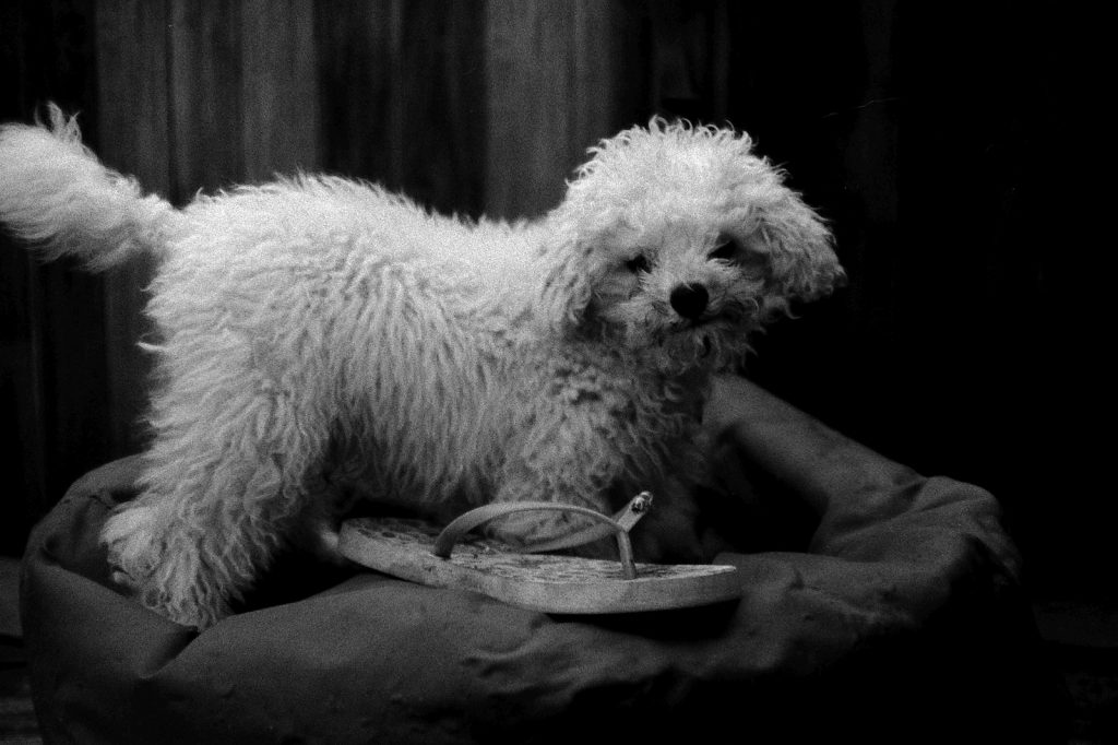 photograph of poodle puppy