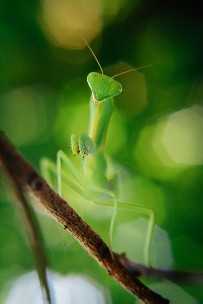 This praying mantis was actually hanging upside down. Image is rotated 180 degrees.