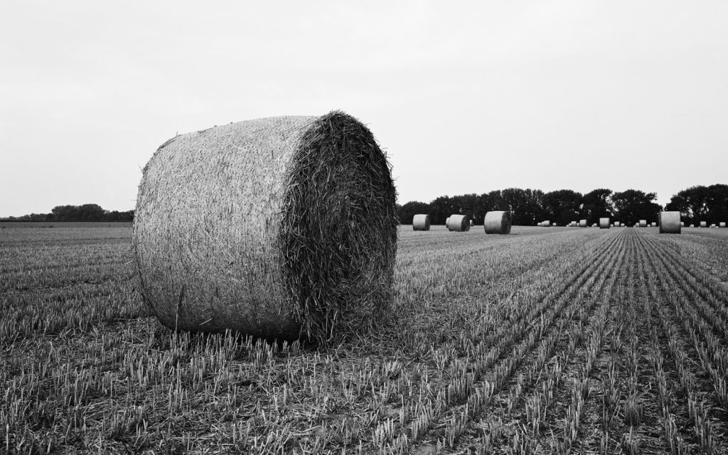 agricultural landscape with round bales of straw lying around