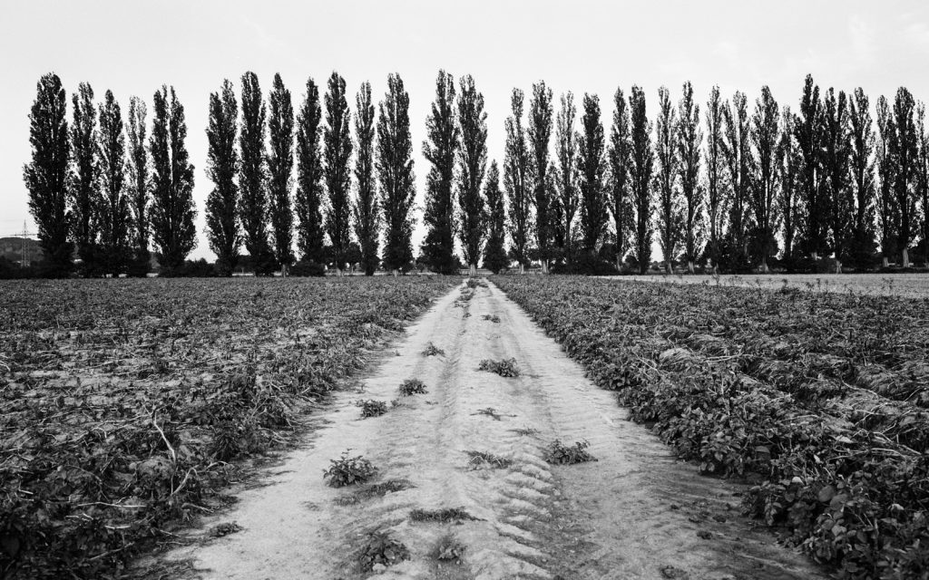 agricultural landscape with a row of tall poplar trees