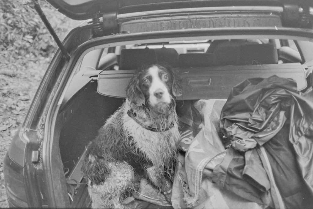 Spaniel in boot of the car