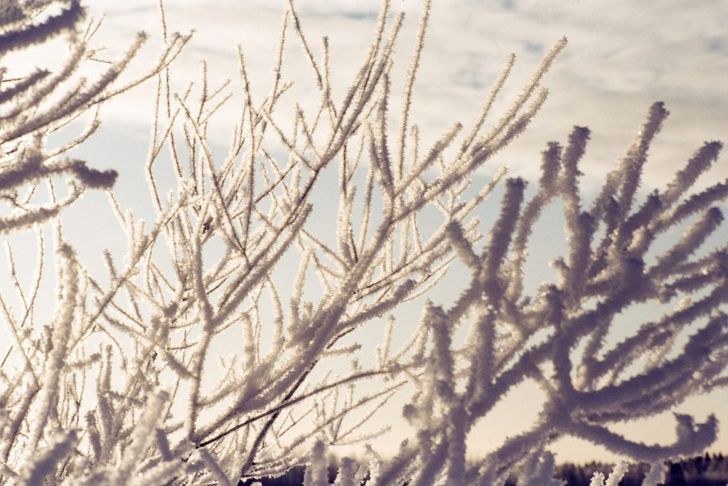 Photo of a closeup of a tree covered in frost taken on slide film.