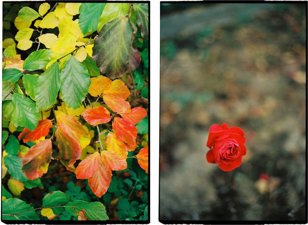 two photographs: colorful autumn leaves and a rose, shot on Lomography 800