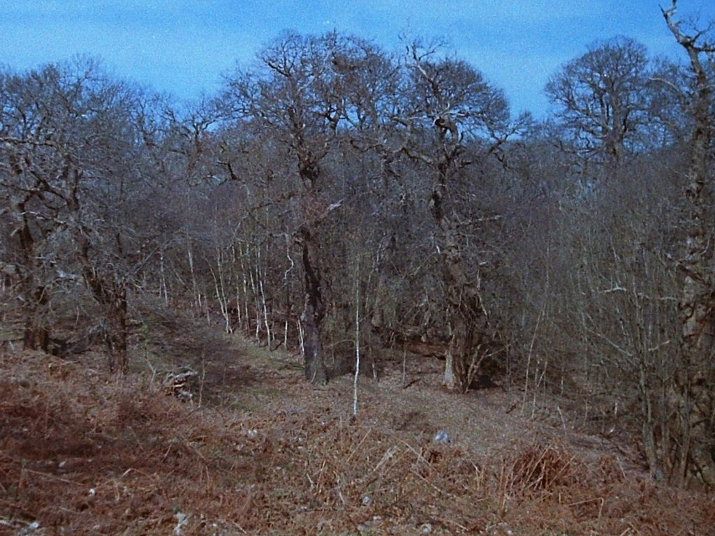 photograph of mature trees in a woodland pasture