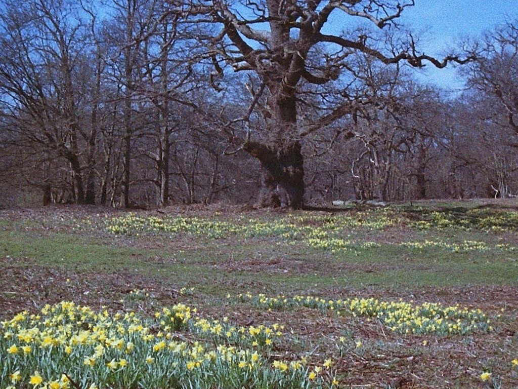 photo of flowers and veteran trees in wood pasture