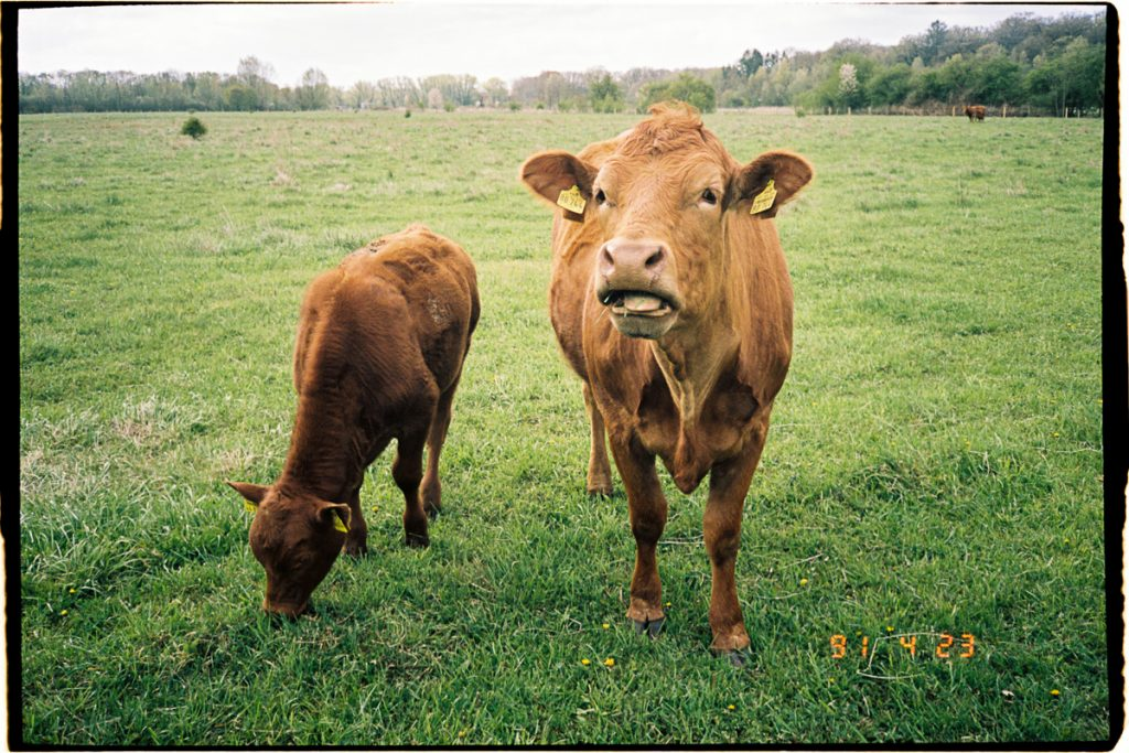 Two brown cows stand in front of the viewer; one cow is grazing, the other one draws its attention to the viewer.