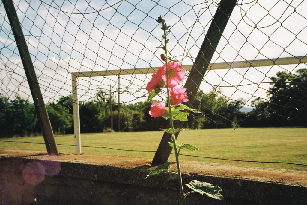 Pink flower in front of a broken wired fence, socce field in the background. Taken with a Voigtländer Bessamatic DeLuxe using the Zoomar 36 - 82 mm and Kodak Gold 200